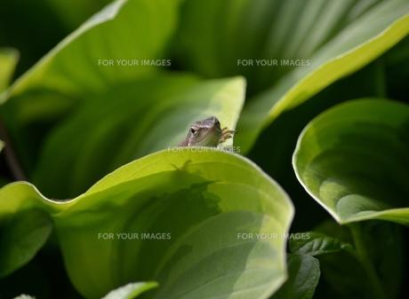 爬虫類:カナベビ2の写真素材 [FYI00459700]