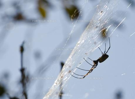 女郎蜘蛛1の写真素材 [FYI00459705]