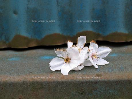 落下した桜の花の素材 [FYI00459843]