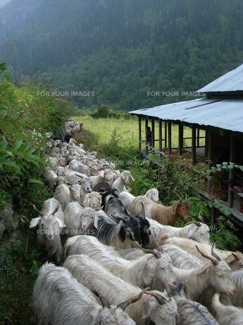 ヤギの群れの写真素材 [FYI00459848]