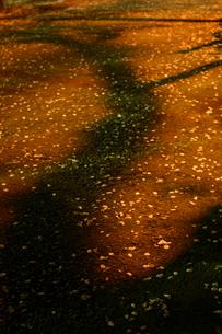 アスファルトに散った桜の花びらの写真素材 [FYI00459863]