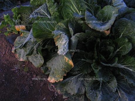初日の出に照らされるハクサイの葉の写真素材 [FYI00459881]