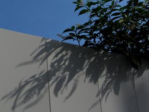 ヨウシュヤマゴボウ(洋種山牛蒡)と影の写真素材 [FYI00459907]