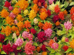 色とりどりのミニケイトウ(羽毛鶏頭)の花の写真素材 [FYI00459915]