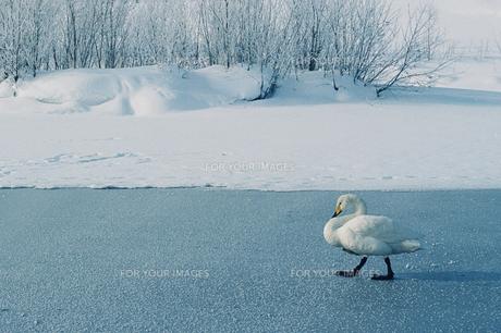 歩く白鳥の写真素材 [FYI00460671]
