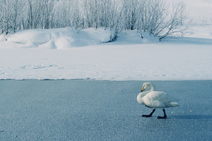 歩く白鳥の素材 [FYI00460671]