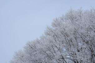 雪をかぶった木々の素材 [FYI00460719]