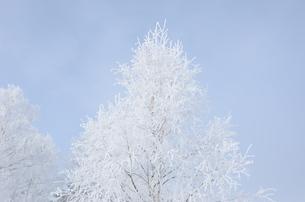 雪の木の素材 [FYI00460726]