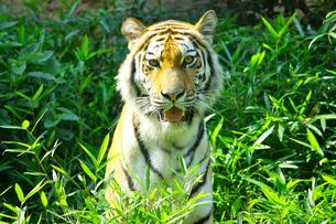 虎の写真素材 [FYI00460766]
