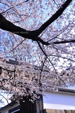 江戸の桜の写真素材 [FYI00460857]