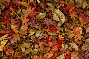 枯れ葉の写真素材 [FYI00460868]