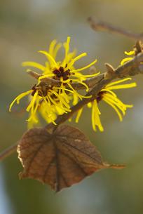 マンサクの花の写真素材 [FYI00460923]
