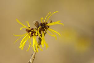 マンサクの花の写真素材 [FYI00460927]