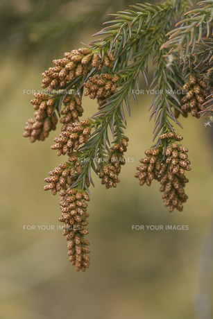 スギの花の写真素材 [FYI00461144]