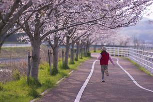 桜並木と少女の写真素材 [FYI00461186]