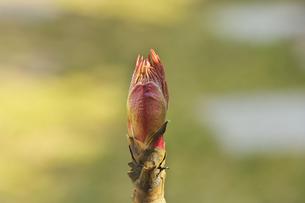 ボタンの花芽の写真素材 [FYI00461188]
