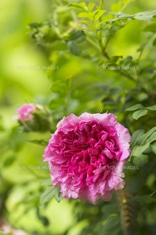 十六夜薔薇(イザヨイバラ)の素材 [FYI00461196]
