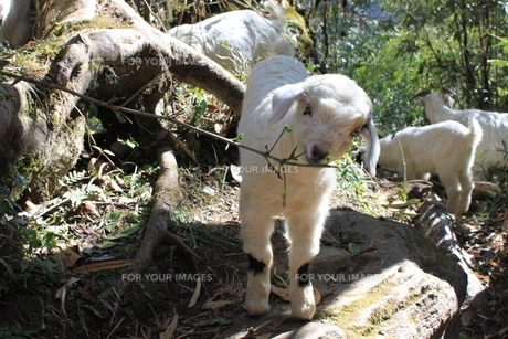 草を食む子山羊の写真素材 [FYI00461247]