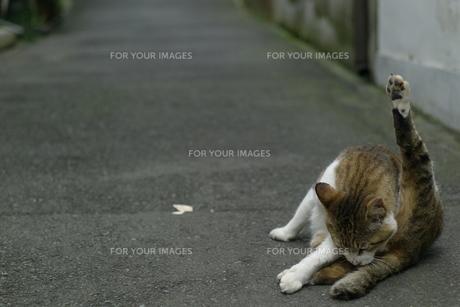毛づくろいする猫の写真素材 [FYI00461273]