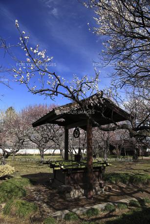 弘道館庭園の 白梅と釣べ井戸 日本情緒の写真素材 [FYI00461289]