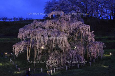 三春滝桜 夜桜 2009年4月撮影10数年ぶりのライトアップの写真素材 [FYI00461308]