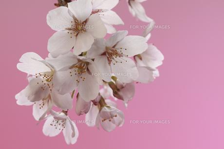 桜 透過光 背景イメージの素材 [FYI00461311]