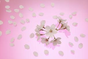 桜 花 はなびら 背景イメージの写真素材 [FYI00461320]