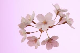 桜 透過光 背景イメージの写真素材 [FYI00461323]