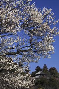 偕楽園 白難波(白梅 水戸の六名木)から 好文亭を望むの写真素材 [FYI00461325]