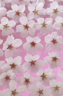 桜 花 敷き詰める 背景イメージ ピントは中央の花横一列にありますの写真素材 [FYI00461327]