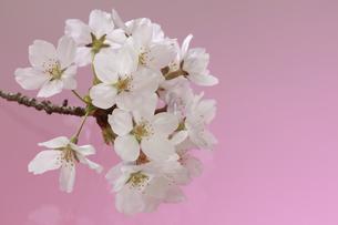 桜 透過光 背景イメージの写真素材 [FYI00461328]