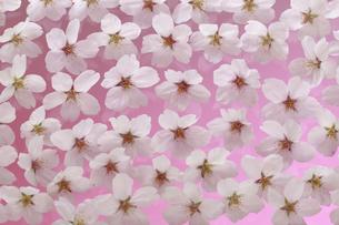 桜 花 敷き詰める 背景イメージ ピントは中央の花横一列にありますの写真素材 [FYI00461336]