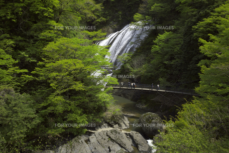 新緑の袋田の滝 奥久慈渓谷 5月ゴールデンウィークの頃 吊り橋 滝川の写真素材 [FYI00461338]