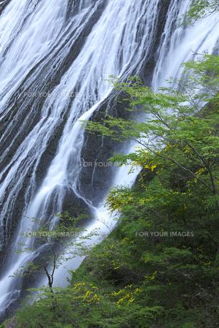 清々しい袋田の滝 5月ゴールデンウィークの頃 新緑と白い水の流れの写真素材 [FYI00461339]