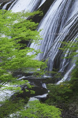 袋田の滝 5月ゴールデンウィークの頃 新緑と白い水の流れ ピントは滝にありますの写真素材 [FYI00461342]