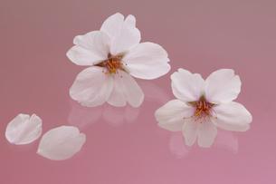 桜 花 はなびら 背景イメージの写真素材 [FYI00461343]