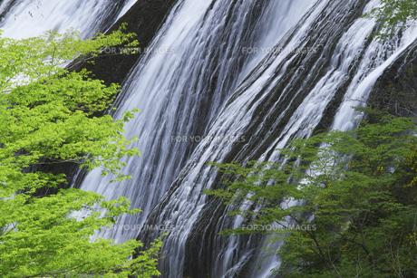 袋田の滝 5月ゴールデンウィークの頃 新緑と白い水の流れ ピントは滝にありますの写真素材 [FYI00461345]