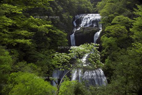 袋田の滝 5月ゴールデンウィークの頃 爽やかな新緑と白い花 ピント芯は正確に滝にあり 水量多しの写真素材 [FYI00461356]