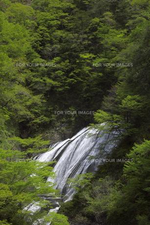 新緑に包まれる袋田の滝 奥久慈渓谷 5月ゴールデンウィークの頃の写真素材 [FYI00461375]