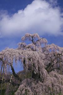 満開の三春滝桜 青空と雲 人物なしの写真素材 [FYI00461387]