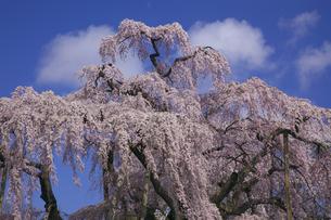 満開の三春滝桜 青空と雲 人物なしの写真素材 [FYI00461390]