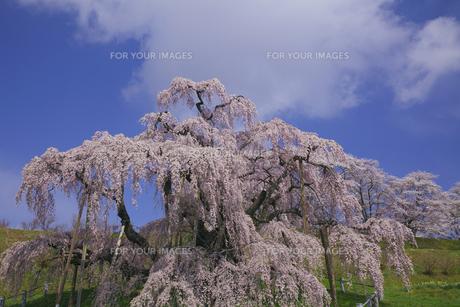 満開の三春滝桜 青空と雲 人物なしの写真素材 [FYI00461392]