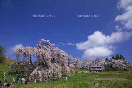 三春の滝桜 桜の公園全エリアを望む 満開快晴 コピースペースの写真素材 [FYI00461395]