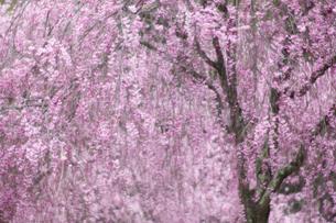 紅枝垂れ桜 イメージ ソフトフォーカスの写真素材 [FYI00461396]