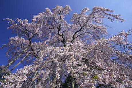 三春滝桜 下から仰ぎ見る 翼を広げたフェニックスの写真素材 [FYI00461397]