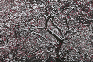 梅に雪 紅千鳥(紅梅)に雪の白 静寂の 美しい偕楽園の写真素材 [FYI00461398]