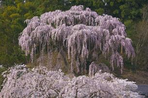三春福聚寺 紅枝垂れ桜とソメイヨシノの共演 青空の写真素材 [FYI00461408]