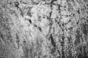 枝垂れ桜 モノクロイメージ ソフトフォーカスの写真素材 [FYI00461417]
