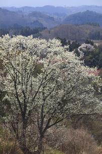 こぶし咲く あの丘 北国の 北国の春の写真素材 [FYI00461427]