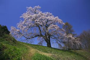 五斗蒔田桜(五斗蒔桜)ごとまきたさくら 小高い丘の上に気高くの写真素材 [FYI00461434]